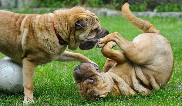 Dealing With Jealousy Between Dogs 1