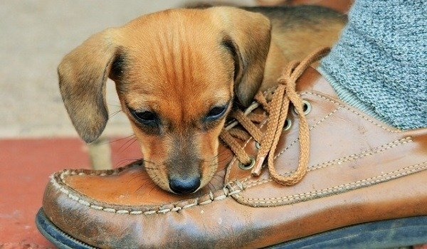 How To Stop Your Dog Chewing Shoes 1