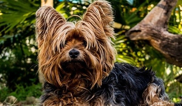 What's The Best Dog Food for Yorkies? Our Favorite Picks 1