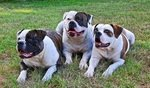 Best Dog Food for American Bulldogs - Perfect Choices That Your Dog Will Love 4
