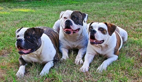 Best Dog Food for American Bulldogs - Perfect Choices That Your Dog Will Love 1