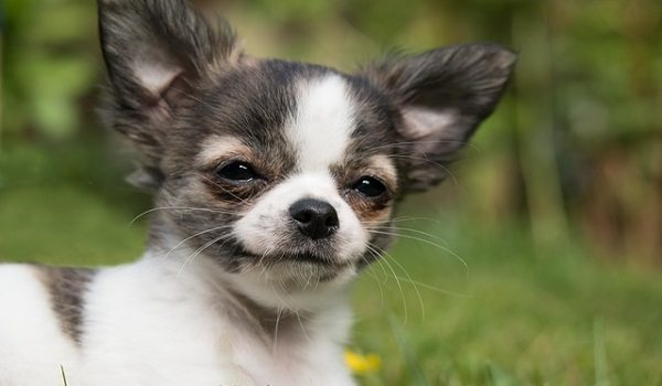 What's The Best Dog Food For Chihuahuas? 1
