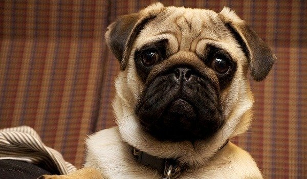 What's The Best Dog Food For Pugs? 1