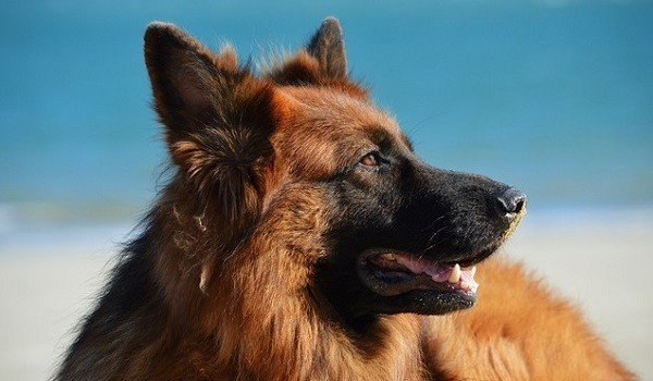 What's The Best Dog Food for German Shepherds? 1
