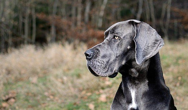 What's The Best Dog Food For Great Danes? 1