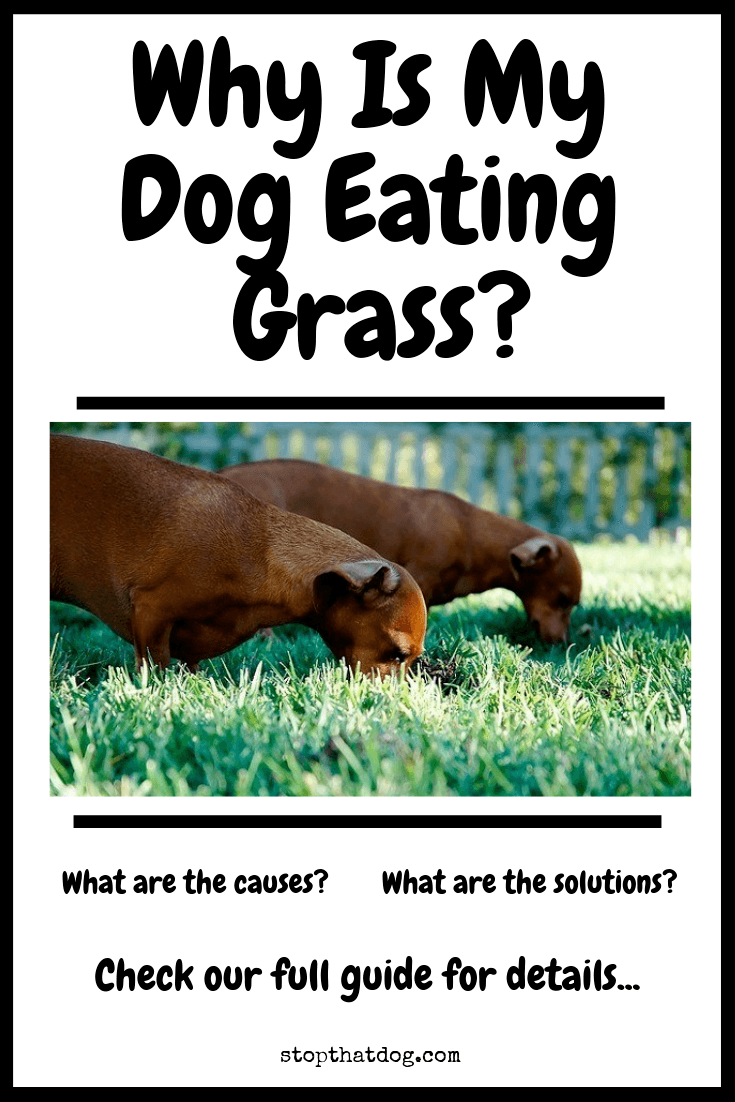 Why Is My Dog Eating Grass? Causes & Solutions
