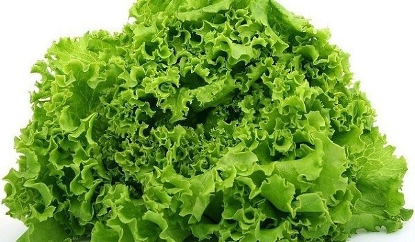 Can Dogs Eat Lettuce? Here's What You Should Know 1