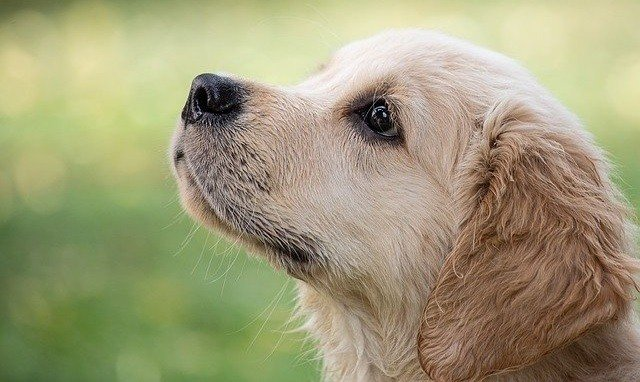 The Ultimate Golden Retriever Breed Guide - All Your Questions Answered 8