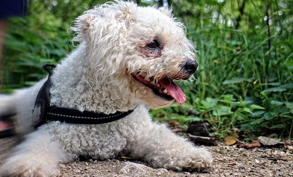 What Are The Longest Living Dog Breeds? 4