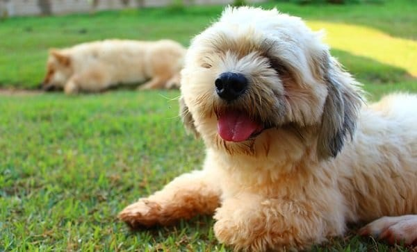 What Are The Longest Living Dog Breeds? 3