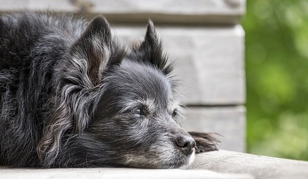 What Are The Longest Living Dog Breeds? 7