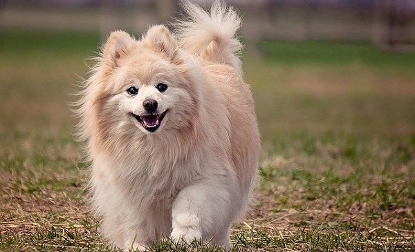 What Are The Longest Living Dog Breeds? 5