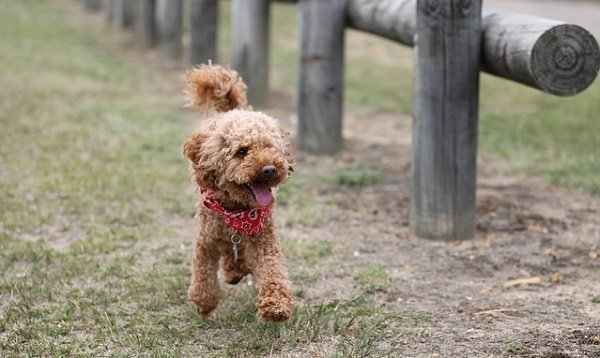 What Are The Longest Living Dog Breeds? 2