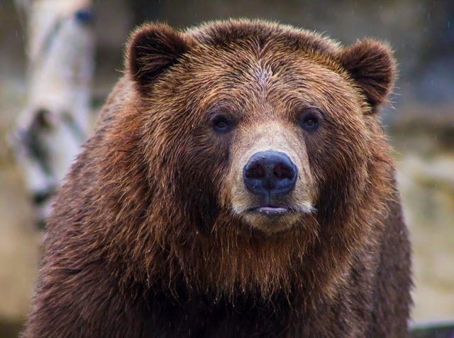 What Dog Looks Like a Bear? These 9 Dog Breeds Will Make You Look Twice... 1