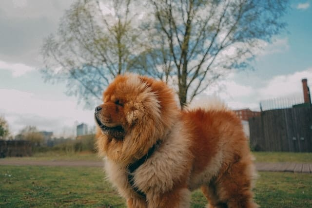 What Dog Looks Like a Bear? These 9 Dog Breeds Will Make You Look Twice... 2