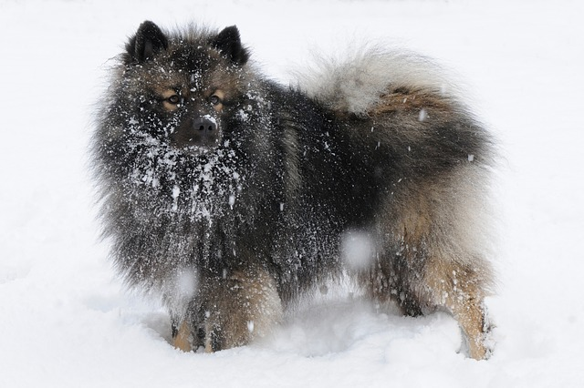 What Dog Looks Like a Bear? These 9 Dog Breeds Will Make You Look Twice... 9