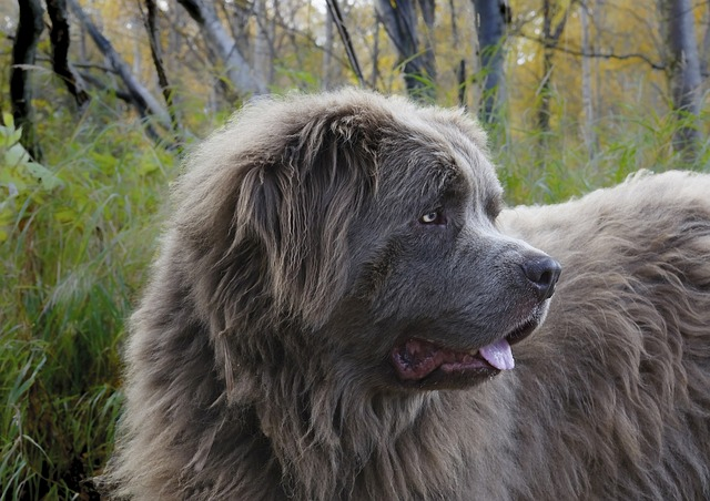 What Dog Looks Like a Bear? These 9 Dog Breeds Will Make You Look Twice... 10