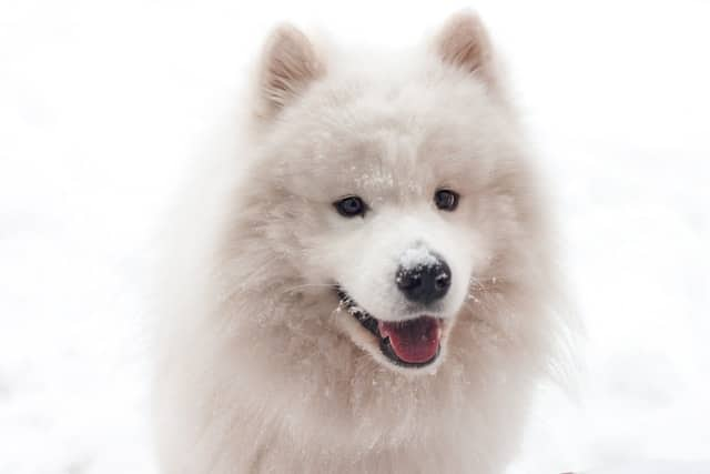What Dog Looks Like a Bear? These 9 Dog Breeds Will Make You Look Twice... 4